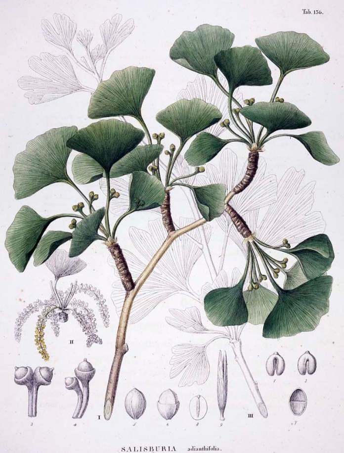 Illustration by Siebold and Zuccarini (1835)